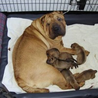 Shar Pei Puppies – born 05 Nov 2010