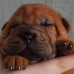 Shar Pei Puppies