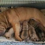 Witchgait Shar Pei Puppies